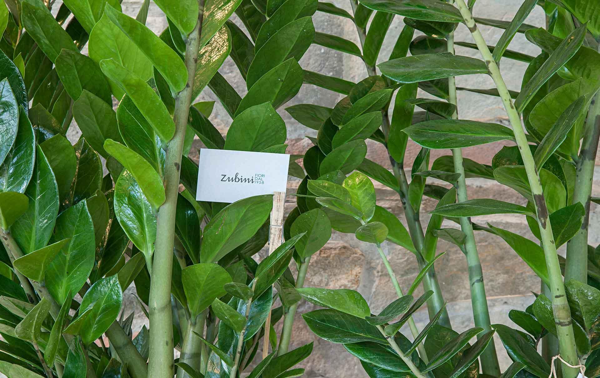 Piante verdi zubini for Piante verdi interno